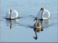 Swans, Somerset Levels